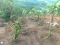 140113 Dragon fruit trees