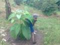 140412 Clearing grass around Jabon trees