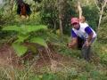 140508 Taking care Jabon trees 2