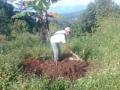 140515 Manggo  among Durian trees