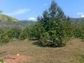 140710 Healthy Durian tree