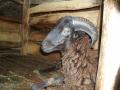 141128 Goat at Parid's barn