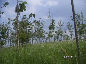 091101_big_Teak_trees_condition_at_Angke_land