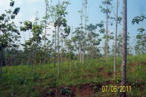 110607_Teaks_at_Pa_Angke_Land
